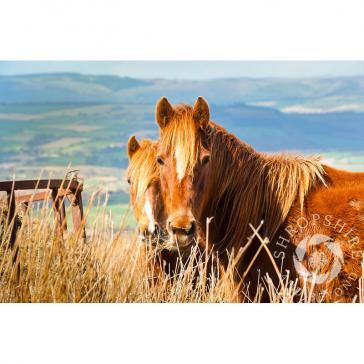 Brown Clee Horses