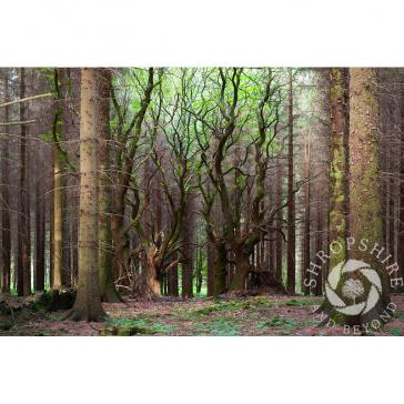 Sitka spruce trees