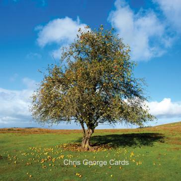 Lone apple tree