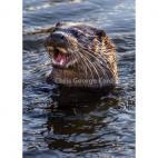 Shropshire otter