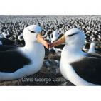 Albatross pair