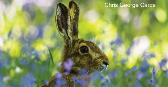 Bluebells Hare